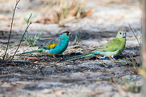 Golden-shouldered Parrot's Male on left Female on right