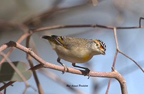 Red-browed Pardalote