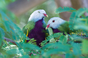 Wompoo Fruit-Doves