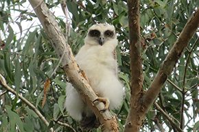 Rufous Owl chick
