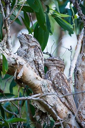 Papuan Frogmouth Pair Male on left