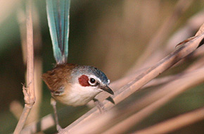 Purple-crowned Fairy-wren (female)