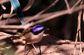 Purple-crowned Fairy-wren (male)