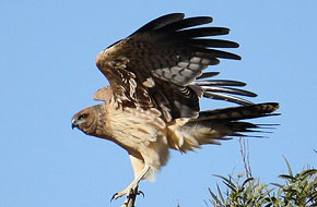 Spotted Harrier (imm)