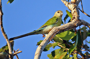 Golden-shouldered Parrot - Female