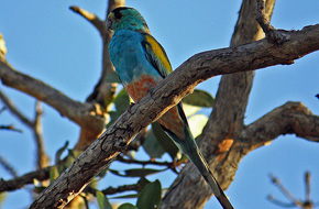 Golden-shouldered Parrot - male