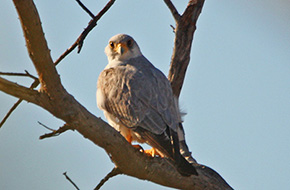 Grey Falcon - Winton, Central Qld