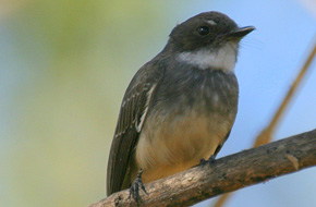 Northern Fantail