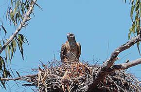 Red Goshawk (female)