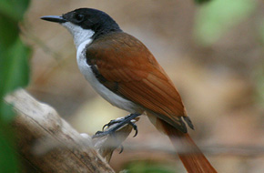 Shining Flycatcher